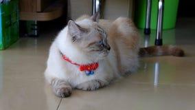 Περσική γάτα που αναμιγνύεται με την ταϊλανδική γάτα Στοκ φωτογραφία με δικαίωμα ελεύθερης χρήσης