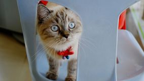 Περσική γάτα που αναμιγνύεται με την ταϊλανδική γάτα Στοκ Φωτογραφίες