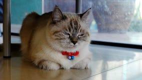 Περσική γάτα που αναμιγνύεται με την ταϊλανδική γάτα Στοκ εικόνες με δικαίωμα ελεύθερης χρήσης