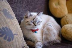 Περσική γάτα που αναμιγνύεται με την ταϊλανδική γάτα Στοκ Φωτογραφία