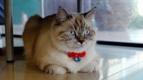 Περσική γάτα που αναμιγνύεται με την ταϊλανδική γάτα Στοκ Εικόνες