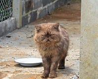 Περσική γάτα που στέκεται κοντά στο πιάτο Στοκ Εικόνες