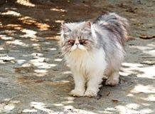 Περσική γάτα που στέκεται στο υπόβαθρο φύσης Στοκ Εικόνες