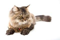 Περσική γάτα στην άσπρη ανασκόπηση Στοκ εικόνες με δικαίωμα ελεύθερης χρήσης