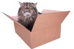 Περσική γάτα στο κιβώτιο χαρτοκιβωτίων Στοκ Εικόνα