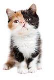Περσική γάτα ταρταρουγών Στοκ Εικόνες