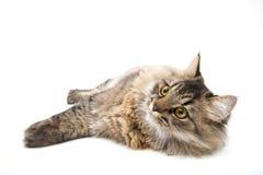 Περσική γάτα χαλάρωσης Στοκ εικόνα με δικαίωμα ελεύθερης χρήσης