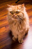 Περσική γάτα στοκ φωτογραφίες