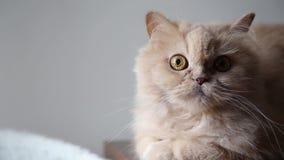 περσική γάτα απόθεμα βίντεο