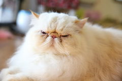 περσική γάτα Στοκ Εικόνα