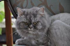 περσική γάτα στοκ εικόνες με δικαίωμα ελεύθερης χρήσης