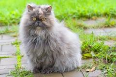 Περσικός στενός επάνω γατών Στοκ εικόνες με δικαίωμα ελεύθερης χρήσης