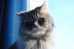 Περσικό γατάκι Στοκ Εικόνες