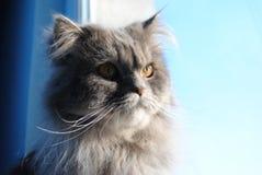 Περσικό γατάκι Στοκ φωτογραφία με δικαίωμα ελεύθερης χρήσης