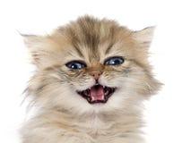 Περσικό γατάκι Στοκ εικόνα με δικαίωμα ελεύθερης χρήσης