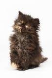 Περσικό γατάκι Στοκ Εικόνα