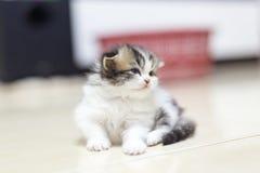 Περσικό γατάκι Στοκ Φωτογραφία