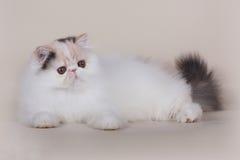 Περσικό γατάκι Extrimal Στοκ εικόνα με δικαίωμα ελεύθερης χρήσης