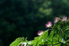 περσικό δέντρο μεταξιού Στοκ Φωτογραφία
