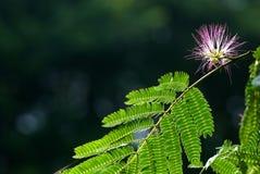 περσικό δέντρο μεταξιού Στοκ φωτογραφία με δικαίωμα ελεύθερης χρήσης
