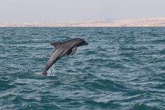 Περσικό δελφίνι γκολφ του Ιράν στοκ φωτογραφίες