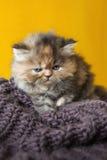 Περσικό κουτάβι γατών Στοκ φωτογραφία με δικαίωμα ελεύθερης χρήσης
