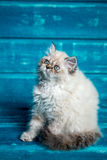 Περσικό μπλε υπόβαθρο γατακιών Στοκ Εικόνες