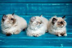 Περσικό μπλε υπόβαθρο γατακιών Στοκ Εικόνα