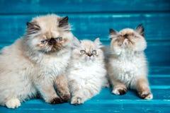 Περσικό μπλε υπόβαθρο γατακιών Στοκ Φωτογραφίες