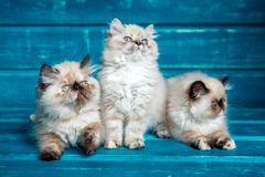 Περσικό μπλε υπόβαθρο γατακιών Στοκ φωτογραφίες με δικαίωμα ελεύθερης χρήσης