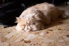 Περσικό πορτρέτο γατών Στοκ εικόνα με δικαίωμα ελεύθερης χρήσης