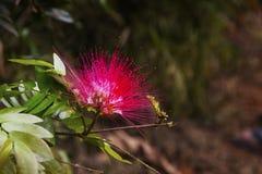 Περσικό/ρόδινο λουλούδι δέντρων μεταξιού υπαίθρια στοκ φωτογραφίες