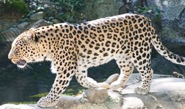 Περσικό Leopard 4 Στοκ φωτογραφίες με δικαίωμα ελεύθερης χρήσης