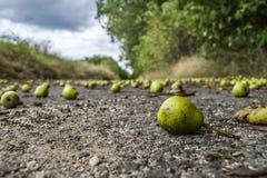 Πεσμένα αχλάδια στοκ εικόνες