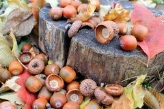 Πεσμένα βελανίδια με τα ξηρά φύλλα Στοκ Εικόνες