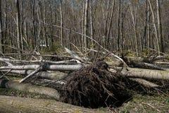 Πεσμένα δέντρα μετά από την ανεμοθύελλα Στοκ Εικόνες