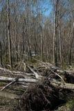 Πεσμένα δέντρα μετά από την ανεμοθύελλα Στοκ φωτογραφίες με δικαίωμα ελεύθερης χρήσης