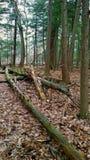 Πεσμένα δέντρα στα ξύλα Στοκ εικόνα με δικαίωμα ελεύθερης χρήσης