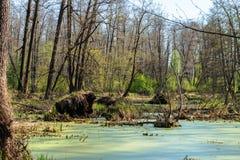 Πεσμένα δέντρα στο έλος, δασικό έλος - νεκρή θέση Στοκ Εικόνες