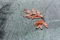 Πεσμένα δρύινα φύλλα στον ανεμοφράκτη Στοκ φωτογραφίες με δικαίωμα ελεύθερης χρήσης