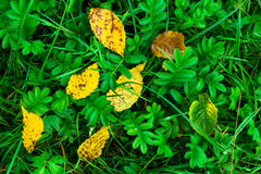 Πεσμένα κίτρινα φύλλα στην πράσινη χλόη στοκ εικόνες με δικαίωμα ελεύθερης χρήσης