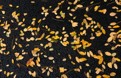 Πεσμένα κίτρινα φύλλα στο έδαφος μετά από μια βροχή το φθινόπωρο DA Στοκ Φωτογραφία