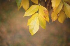Πεσμένα κίτρινα φύλλα φθινοπώρου στο έδαφος Στοκ Φωτογραφία
