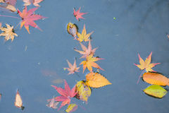 Πεσμένα υπόβαθρο ιαπωνικά φύλλα σφενδάμου φθινοπώρου στα νερά λιμνών Στοκ Εικόνες