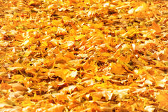 Πεσμένα φθινόπωρο πορτοκαλιά φύλλα σε ένα πάρκο Στοκ εικόνες με δικαίωμα ελεύθερης χρήσης