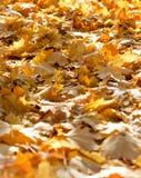 Πεσμένα φθινόπωρο φύλλα αναμμένα από το φως ήλιων Στοκ Φωτογραφία