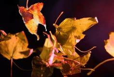Πεσμένα φύλλα αμερικανικού Sweetgum σε ένα μαύρο υπόβαθρο στοκ φωτογραφίες με δικαίωμα ελεύθερης χρήσης