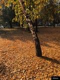 Πεσμένα φύλλα και δέντρο αερακιού στο πάρκο στοκ εικόνες με δικαίωμα ελεύθερης χρήσης