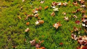 Πεσμένα φύλλα στη φρέσκια πράσινη χλόη στον ήλιο πρωινού απόθεμα βίντεο