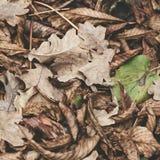 Πεσμένα φύλλα του κάστανου, σφένδαμνος, βαλανιδιά, ακακία Καφετής, κόκκινος, πορτοκαλής και το υπόβαθρο φύλλων φθινοπώρου ρηχός μ Στοκ Φωτογραφία